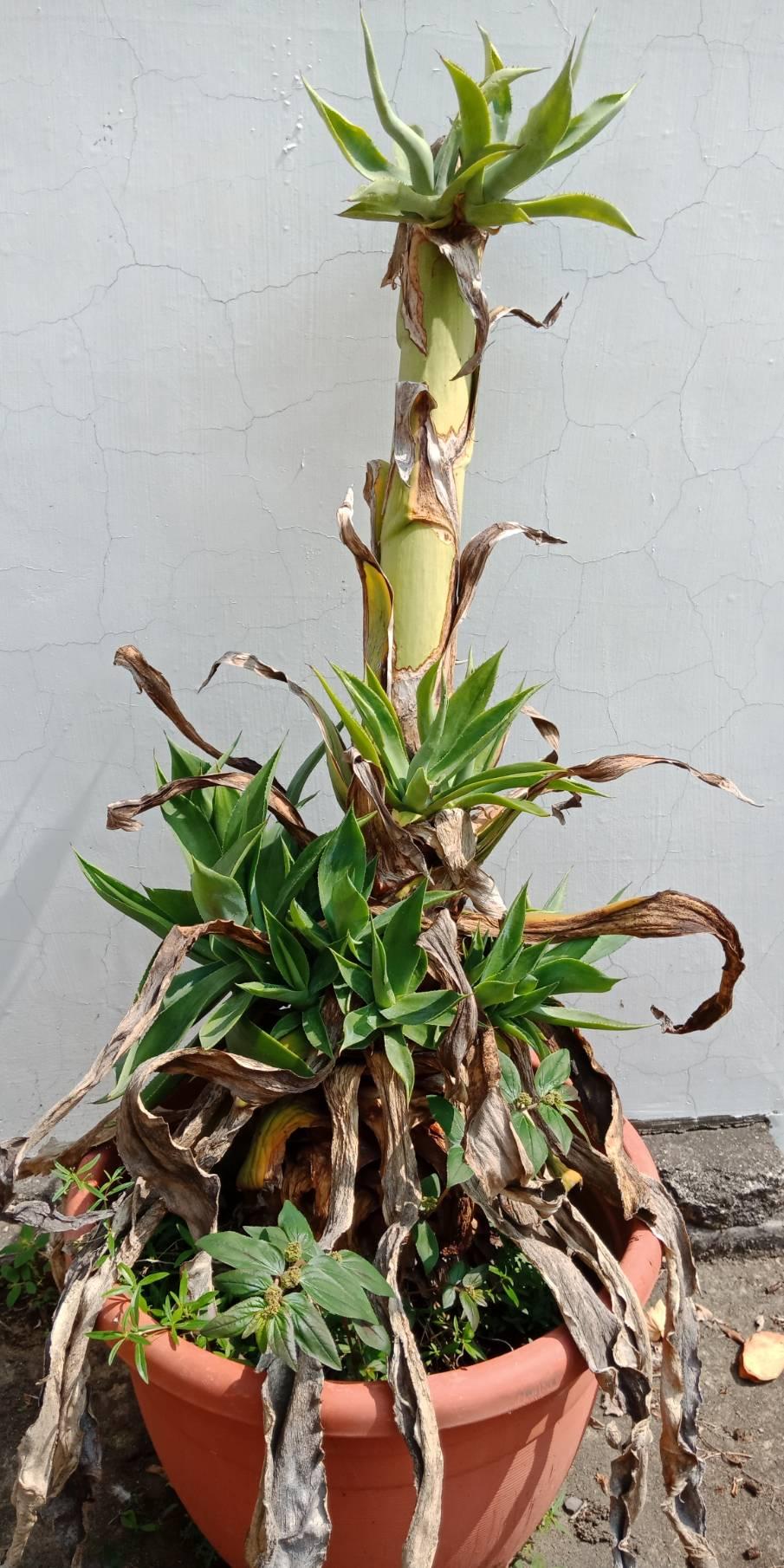 【你喜歡植物嗎?那你養我!】Tp&b芳療SPA龍舌蘭表示快來養我,我要住你家≧ω≦ -